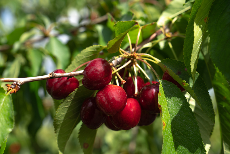 Bacchini Cherries