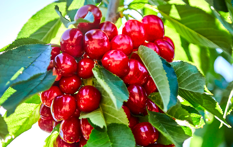 Harvest Time Cherries by Ron Essex
