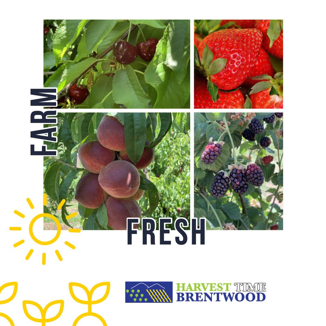 Harvest Time Brentwood